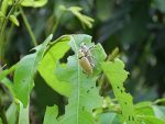 อาหารแมลงค่อมทอง
