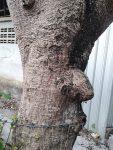 ต้นมะกอกป่า1