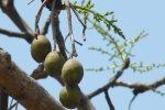 ผลมะกอกป่า